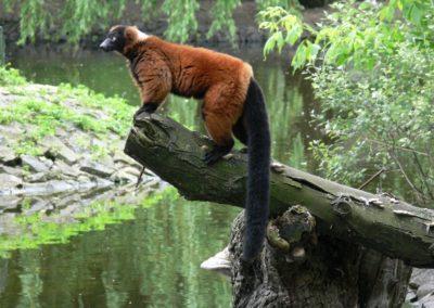 Warszawski Ogród Zoologiczny, Lemur Wari, fot. Miejski Ogród Zoologiczny w Warszawie