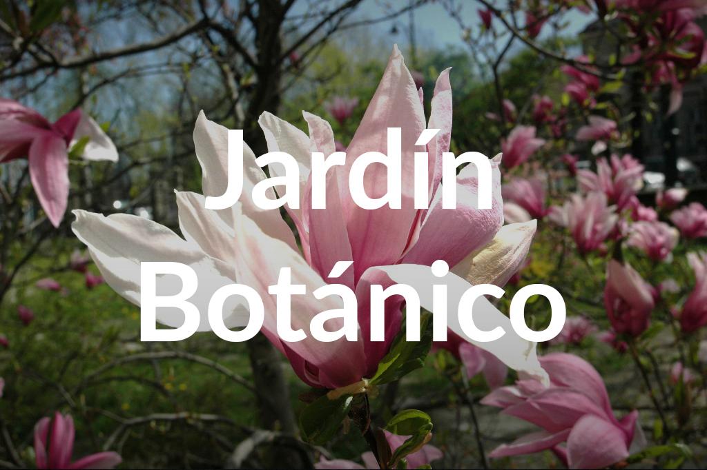 Magnolia Lubicz, fot. Ogród Botaniczny Uniwersytetu Warszawskiego