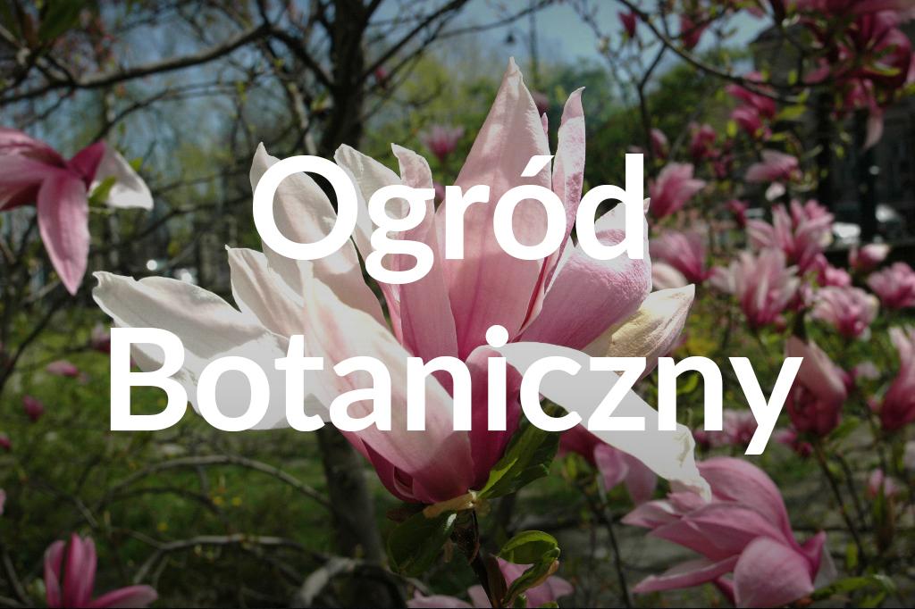 Magnolia Lubicz, fot.Ogród Botaniczny Uniwersytetu Warszawskiego